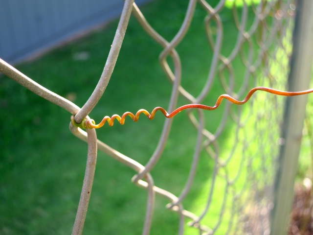 Lilikoi tendril fence